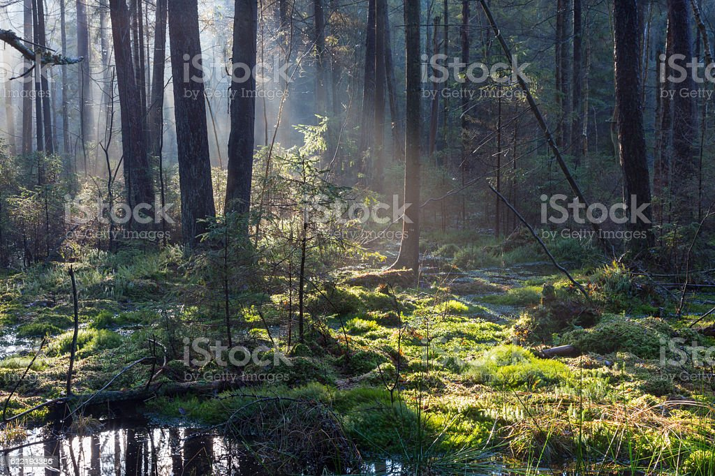 Natural coniferous stand of Landscape Reserve stock photo
