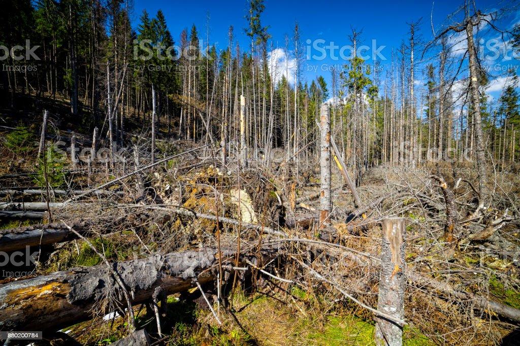Natural disaster - broken trees through a hurricane, Tatra Mountains, Poland stock photo