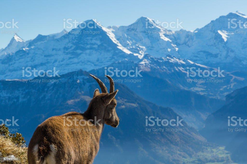 natürliche weibliche Steinbock Steinbock Blick auf Eiger, Monch, Jungfrau in den Berner Alpen – Foto