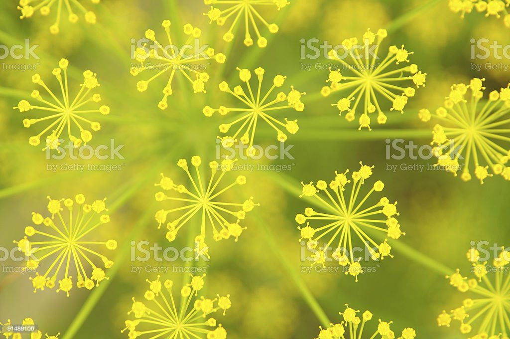 natural fennel background stock photo