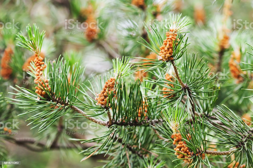 Natural fir branch with small fir-cone. macro view evergreen tree twig, shallow depth of field stock photo