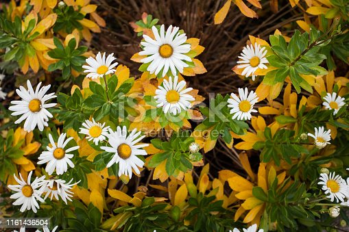 Natural Floral Arrangement, Garden Shasta Daisies