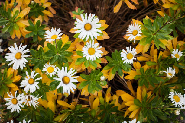 Natural Floral Arrangement, White and Yellow Garden Shasta Daisies stock photo
