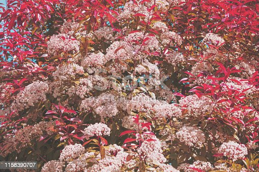 Natural floral background. Flowering bird cherry trees in the garden