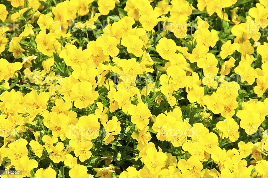 natural floral background of rapeseed flowers royalty-free stock photo