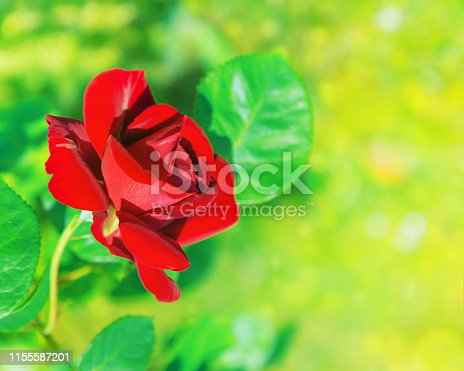 Natural flower red rose on blurred green background. Soft focus. Copy space. Free place for text. One blossoming red rose. Open rose for postcard.