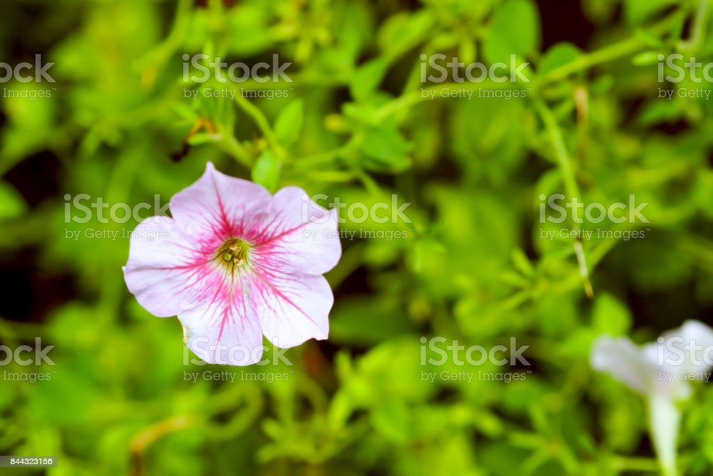 Natural Flower With White Petals And Pink Buds On Green Leaves