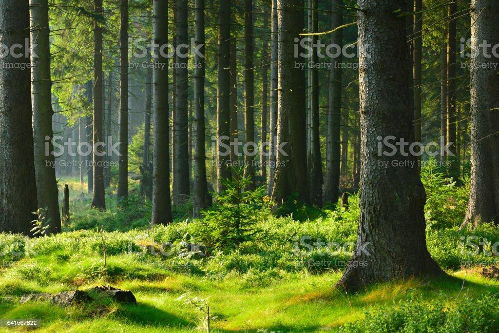 Natürlichen Wald von Fichte Baum im warmen Licht der aufgehenden Sonne – Foto