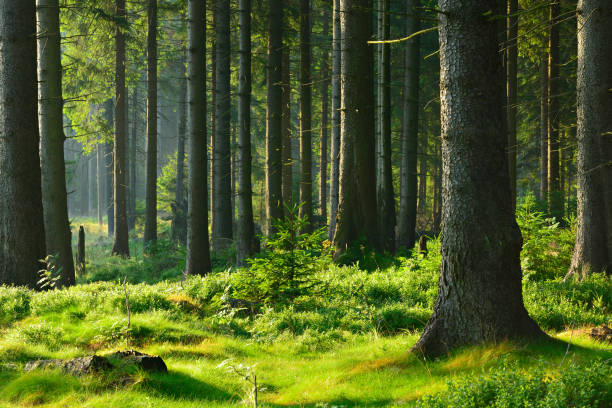 Natural Forest of Spruce Tree in the Warm Light of the Rising Sun stock photo