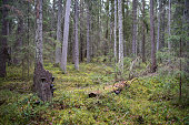 natural forest, Coniferous forest covered of green moss. Mystic atmosphere, high resolution photo,