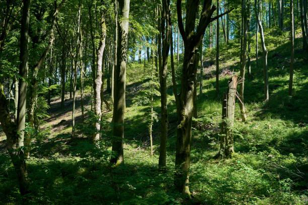 Naturwald mit Buchen – Foto