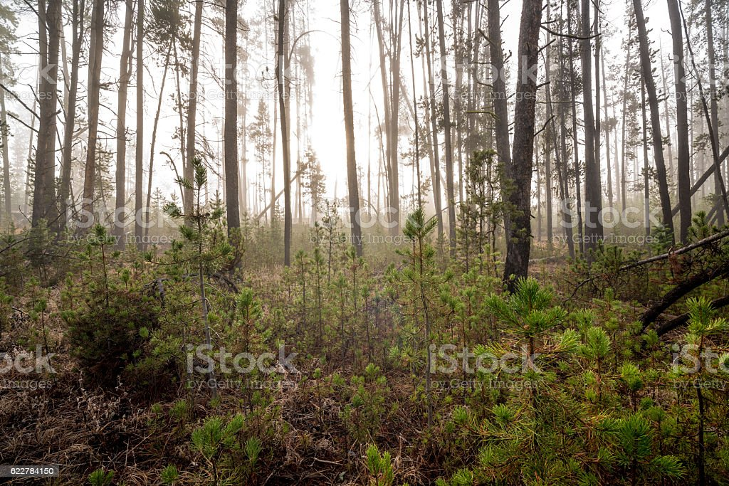 Natural forest with sun peeking through teh trees stock photo