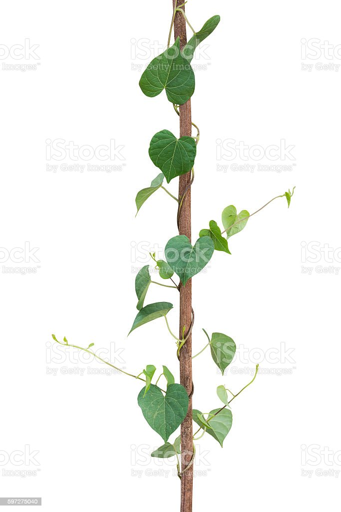 Natural Frame Of Green Heart Shaped Leaves Climbing Plant Stock ...