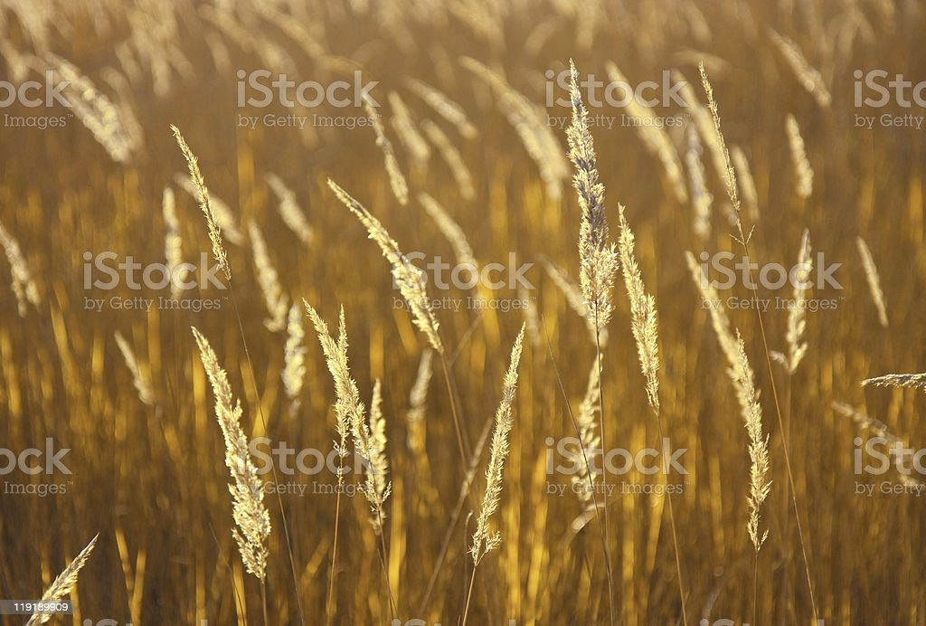 Natural golden background royalty-free stock photo