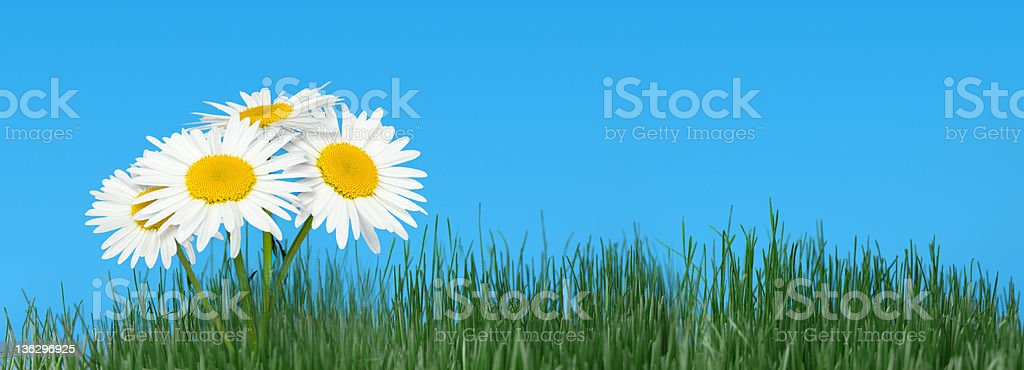 Natural grass and camomiles against the sky royalty-free stock photo