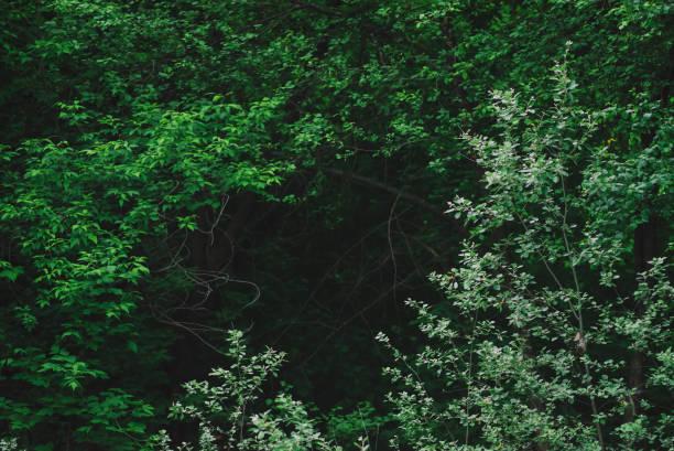natürlicher grüner hintergrund aus üppigem dickicht im dunklen wald. dunkelheit hinter verzauberten zweigen geheimnisvoller bäume mit kopierraum. unheimliche waldkulisse mit mystischem grün. tenebrous wälder nahaufnahme - baumgruppe stock-fotos und bilder
