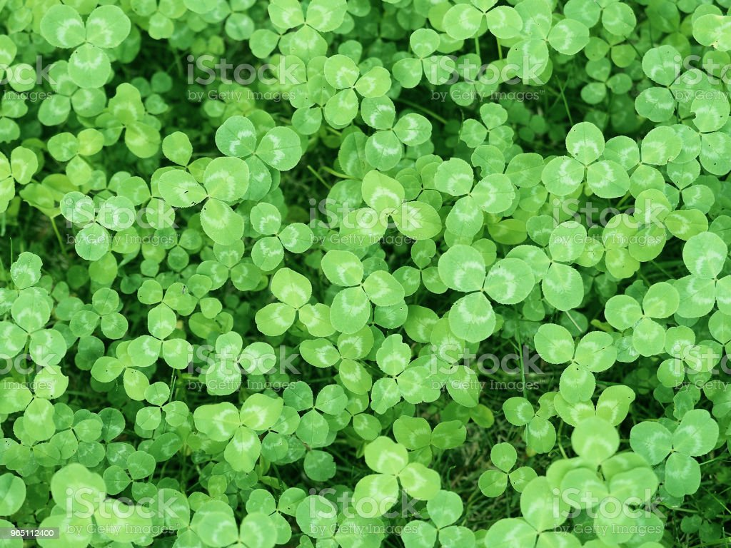 Natural green background. Plant and herb texture. Leafs green young fresh clover, shamrock, trefoil close-up. Beautiful background with green clover leaves for Saint Patrick's day. Trifolium, trifoliate royalty-free stock photo
