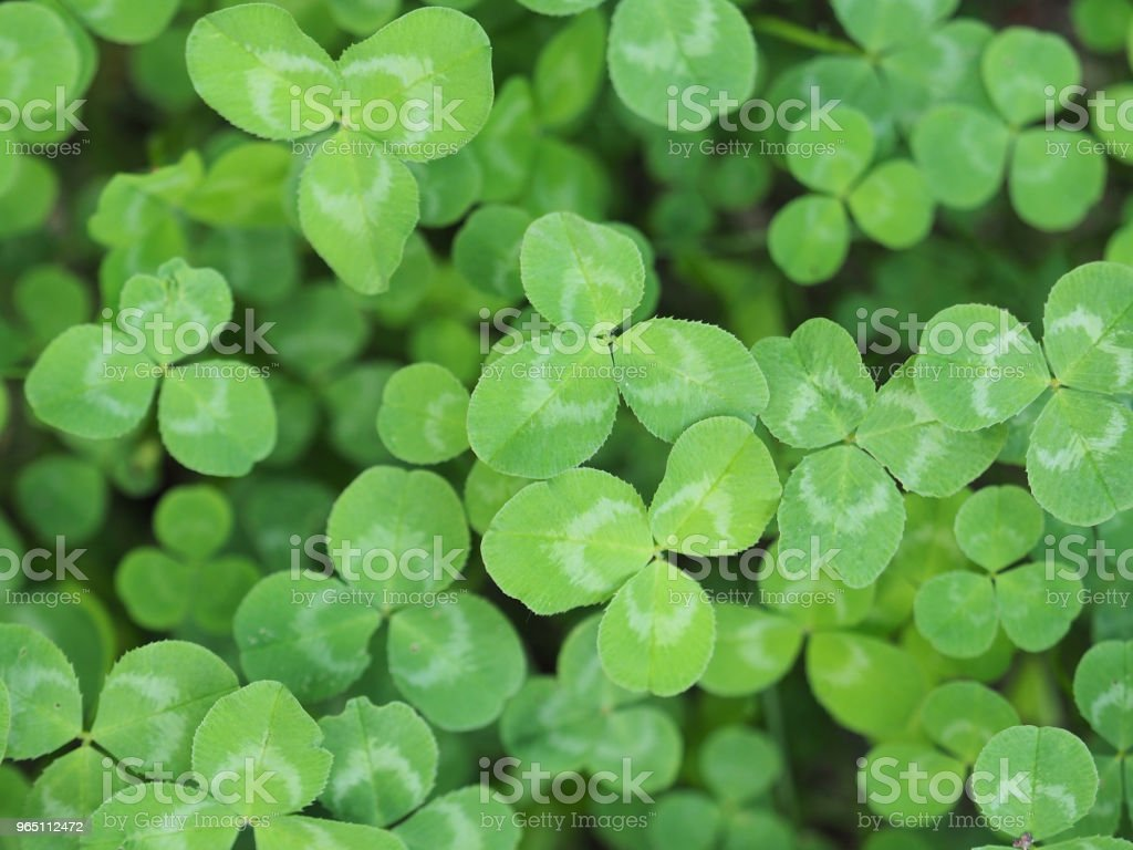 Natural green background. Plant and herb texture. Leafs green young fresh clover, shamrock, trefoil macro. Beautiful background with green clover leaves for Saint Patrick's day. Trifolium, trifoliate zbiór zdjęć royalty-free