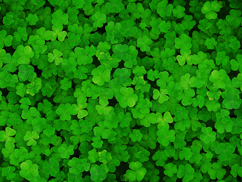 istock Natural green dark background. Plant and herb texture. Leafs green young fresh oxalis, shamrock, trefoil close-up. Beautiful background with green clover leaves for Saint Patrick's day 920503350