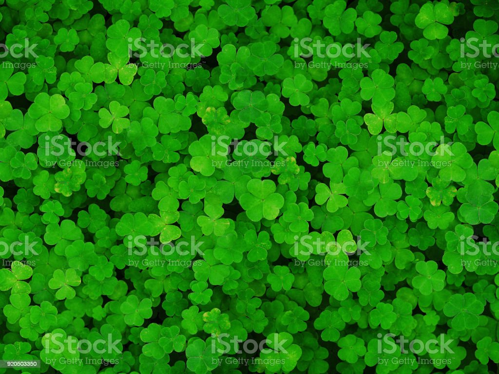 Natural green dark background. Plant and herb texture. Leafs green young fresh oxalis, shamrock, trefoil close-up. Beautiful background with green clover leaves for Saint Patrick's day stock photo