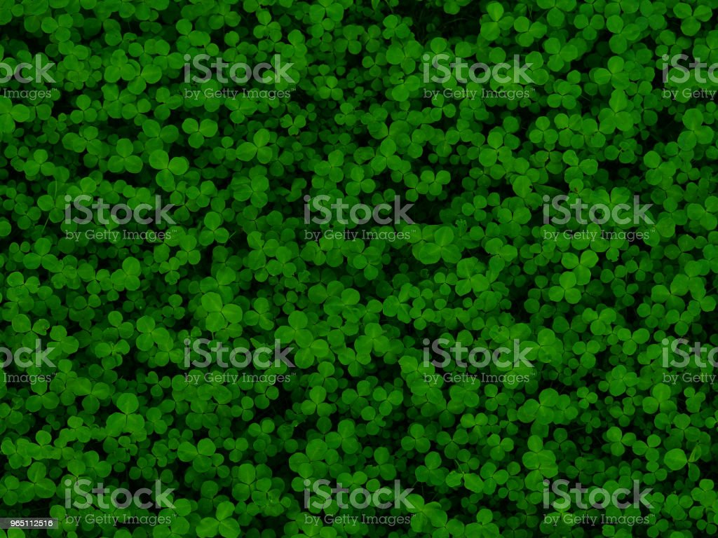 Natural green dark background. Plant and herb texture. Leafs green young fresh clover, shamrock, trefoil close-up. Beautiful background with green clover leaves for Saint Patrick's day. Trifolium, trifoliate royalty-free stock photo