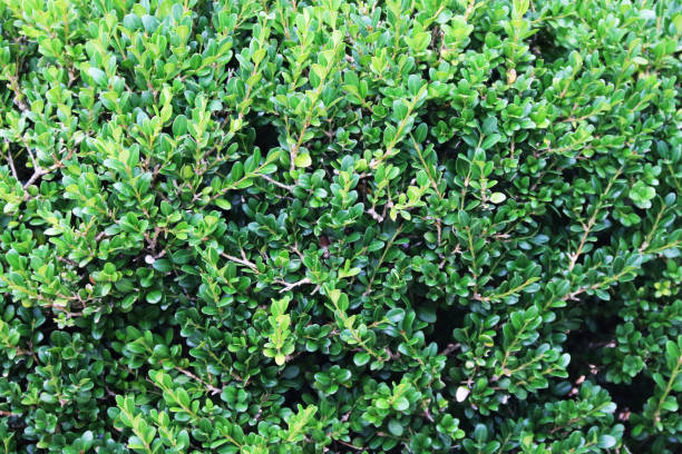 natural green foliage hedge bush shrub close-up view on a bright sunny day with rich vivid contrasting and detailed colors and shadows suitable for background website backdrop stock photo
