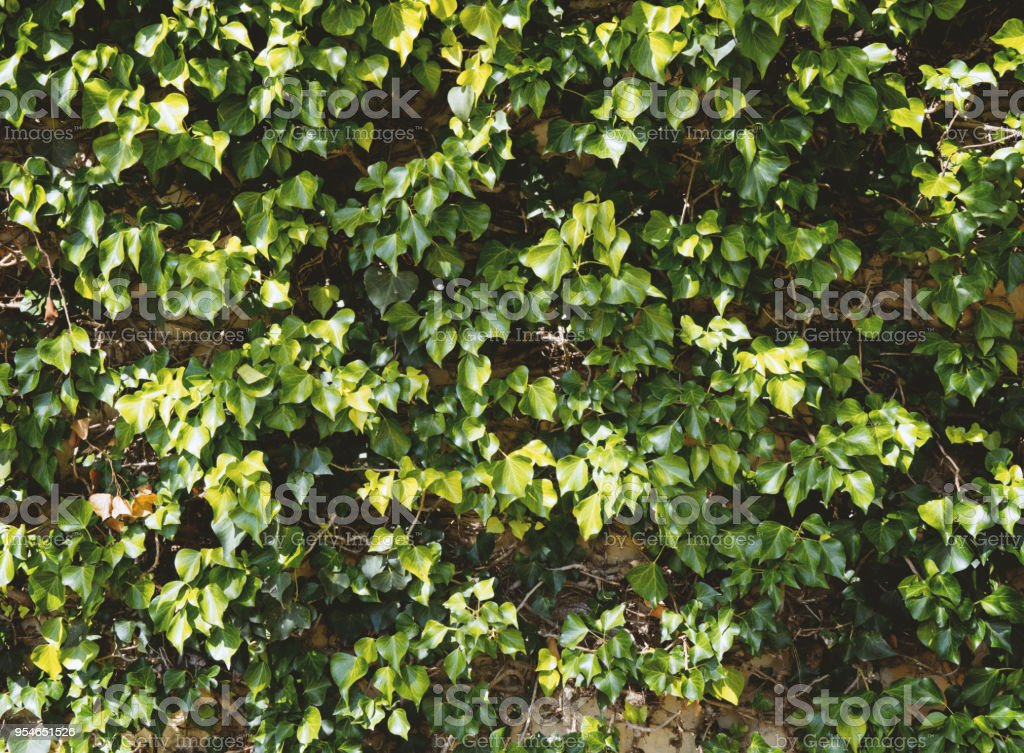 Natural green ivy leaves wall texture stock photo