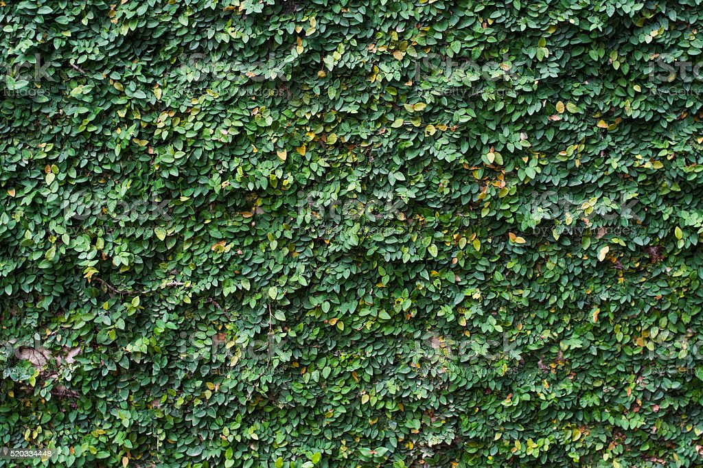 Natural green leaf wall stock photo
