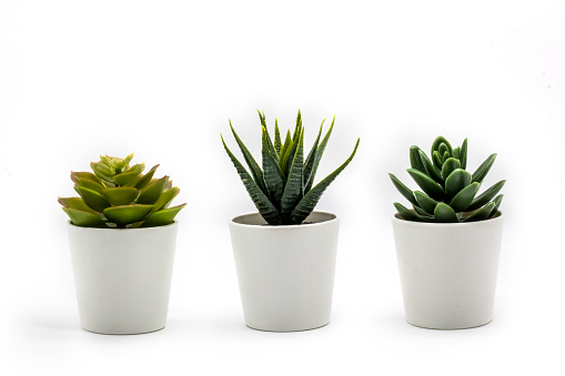Natural green succulents cactus, Haworthia attenuata in white flowerpot isolated on white background
