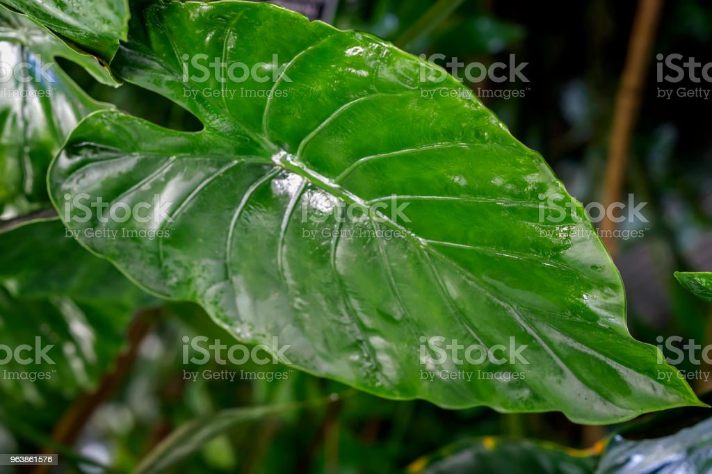 Natural green tropical texture of leaf, macro photo of dark green foliage, fresh exotic botanical pattern, background. Abstract natural exotic jungle background - Royalty-free Abstract Stock Photo