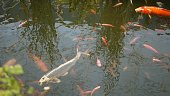 Natural greenery background. Vibrant Colorful Japanese Koi Carp fish swimming in traditional garden lake or pond. Chinese Fancy Carps under water surface. Oriental symbols of fortune and good luck