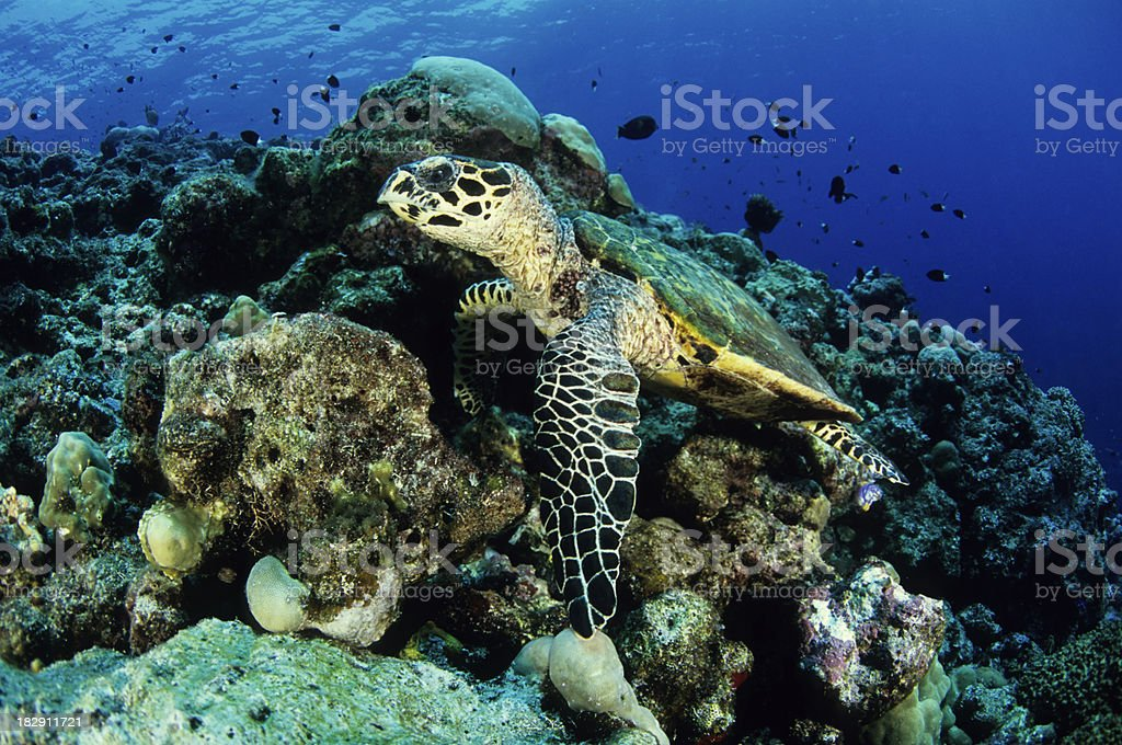 Natural Hawksbill Turtle Camoflauge stock photo