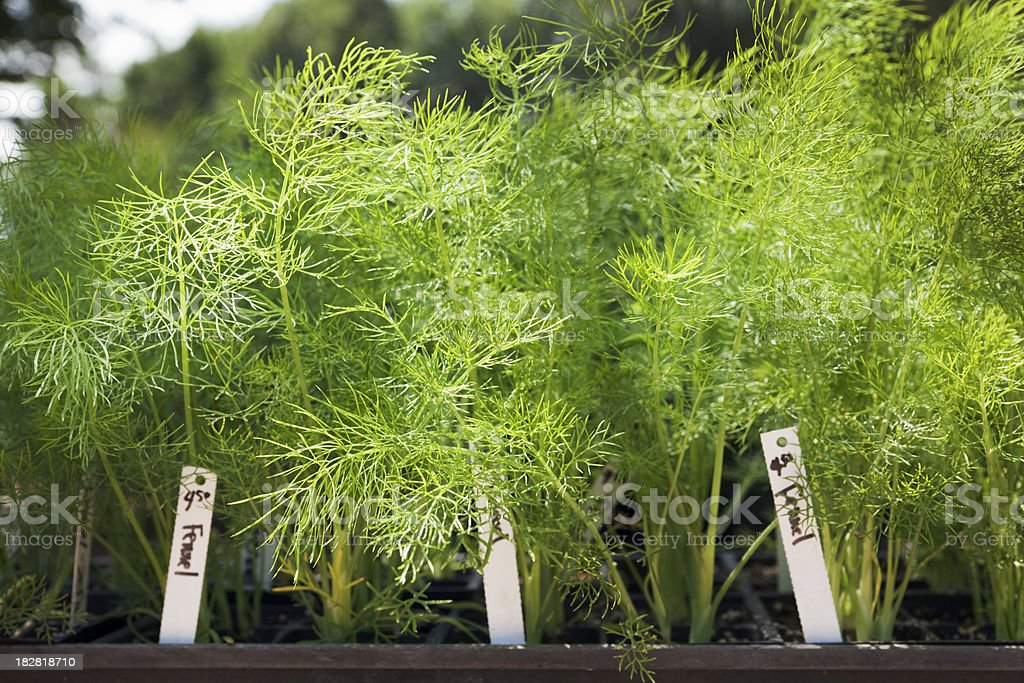 Natural Herb Fennel Seedling Plant in the Garden Center stock photo
