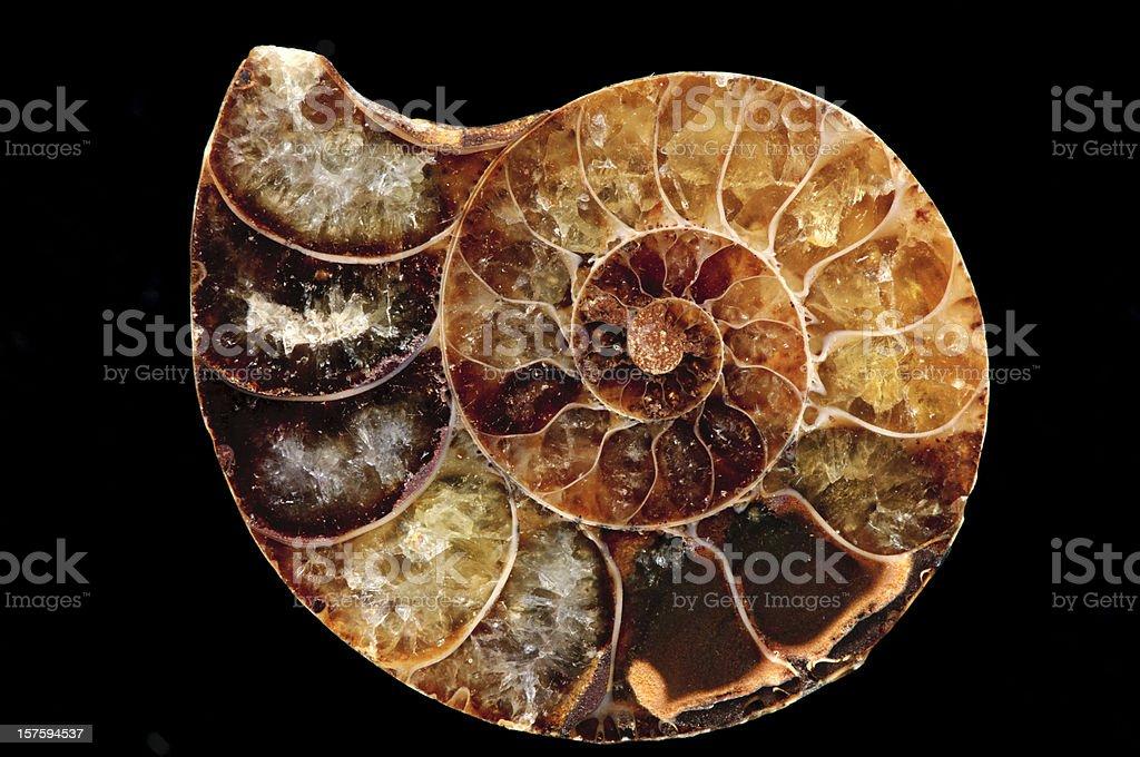 Natural History Prähistorische fossilisierten Nautilus Sea Shell, isoliert auf Schwarz – Foto
