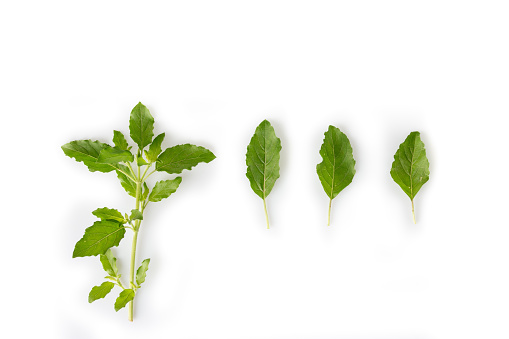 Natural holy basil leaves for spicy food, Isolated on white.