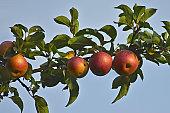 Natural landscape - red appels on branch.