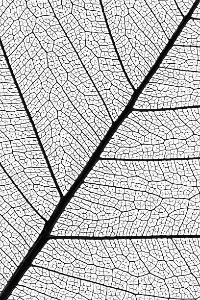 Nervures des feuilles de skeleton extrêmement détaillés - Photo