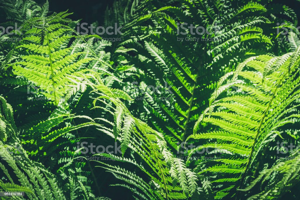 Natural leafs of fern with sunlight in tropical forest. Closeup. Nature background. - Royalty-free Backgrounds Stock Photo
