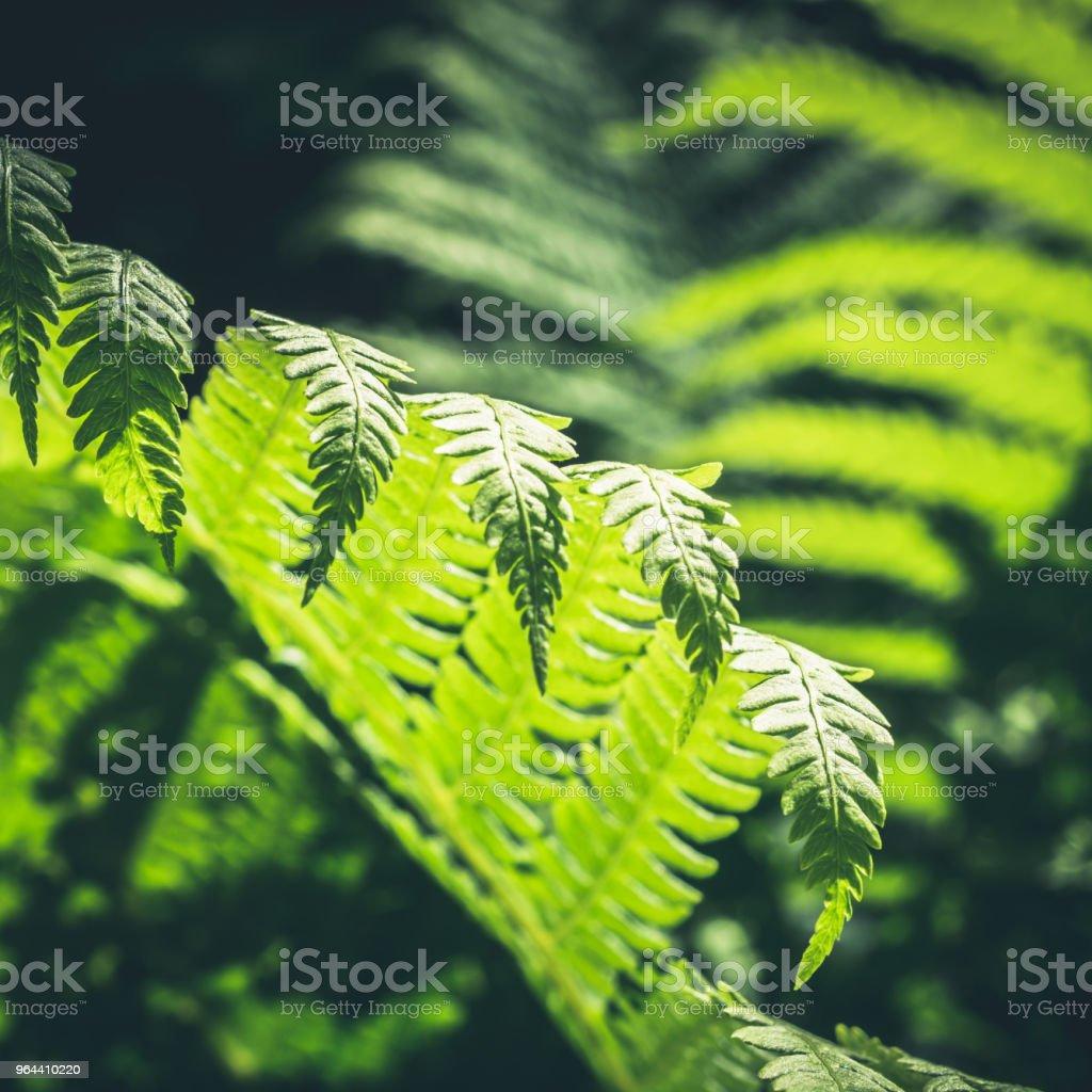 Naturais de folhas de samambaia com luz do sol na floresta tropical. Closeup. Fundo de natureza. - Foto de stock de Arbusto royalty-free