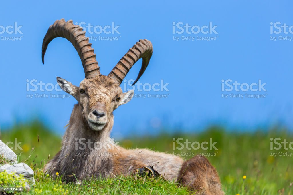natürliche männliche Capra Ibex Steinbock blauer Himmel grüne Almwiese – Foto