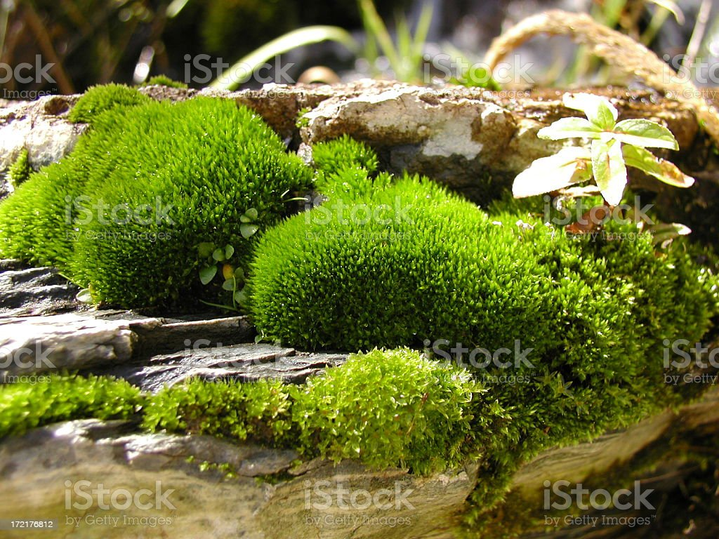 Natural moss and a flower growing on rocks royalty-free stock photo