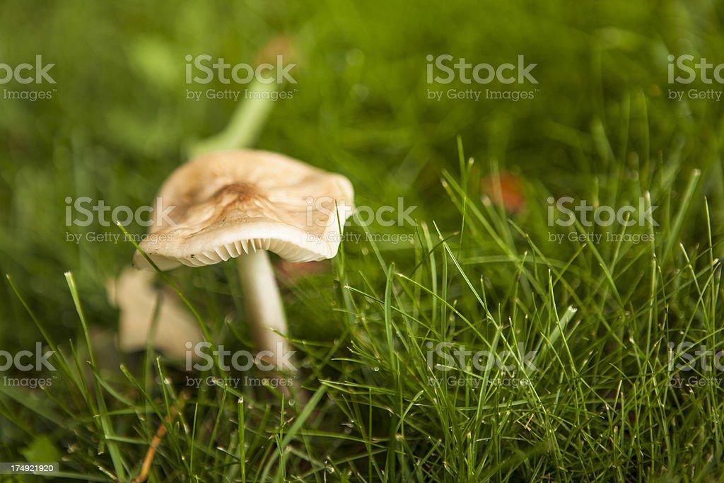 Natural Mushroom in the garden grass stock photo