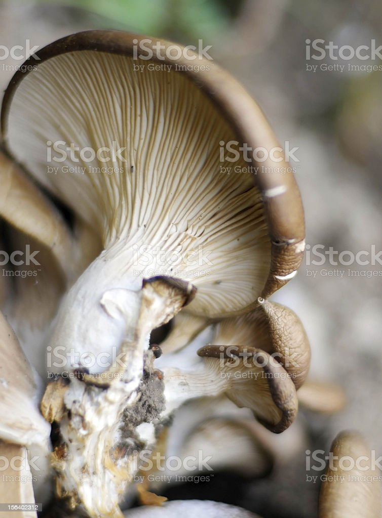 natural mushroom royalty-free stock photo