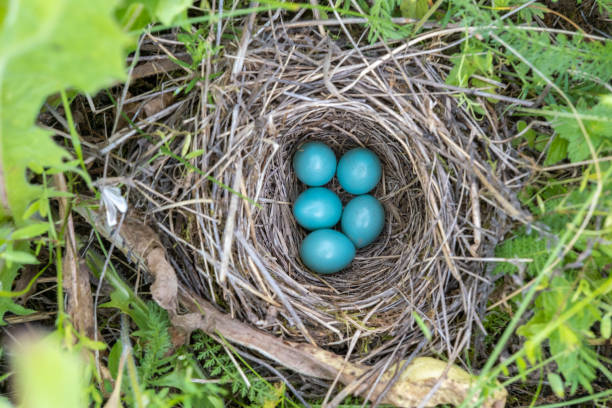 natural nest and blue eggs of a song thrush in the meadow. view from above - song thrush imagens e fotografias de stock