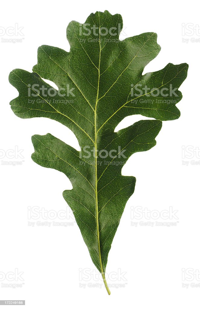 Natural Oak Leaf  Isolated Cut out on White Background royalty-free stock photo