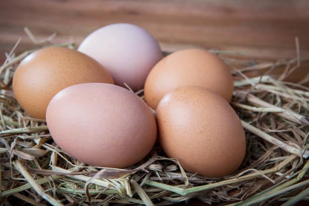 natural organic eggs  on chicken hatching nest stock photo