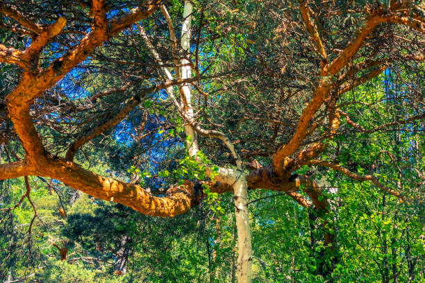 natural ornate background of birch and pine trunks - plexus stock photos and pictures