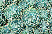 Close-up of a hens-and-chicks succulent (sempervivum), Also know as Crassulaceae or houseleeks. Succulents form an interesting natural pattern or background.