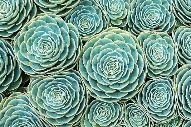 Natural pattern of hens and chicks succulents picture id484148116?b=1&k=6&m=484148116&s=612x612&w=0&h=lrv3kzrwsjtzkikwuelu3ce8iafxjv37jdptgfp6nmw=