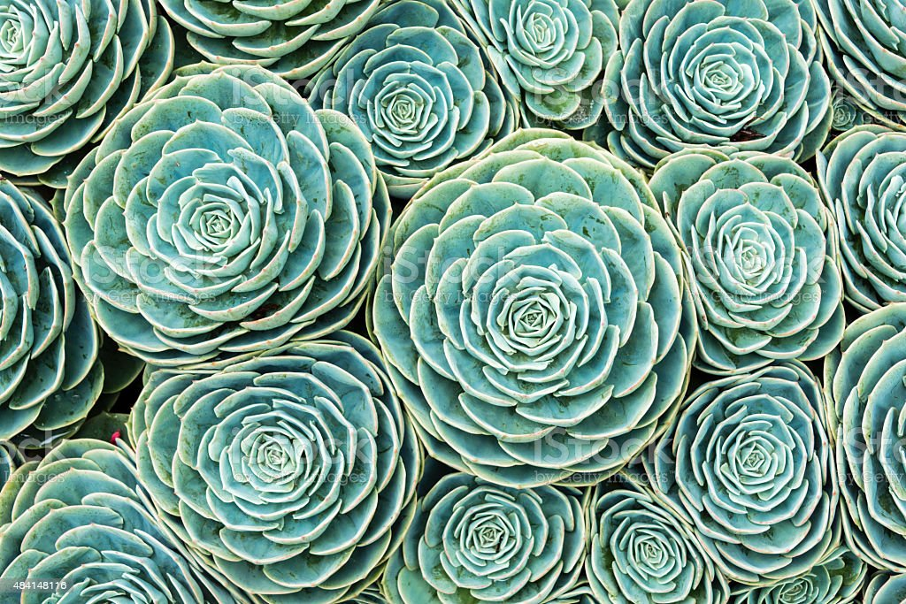 XXXL: Natural pattern of hens and chicks succulents stock photo